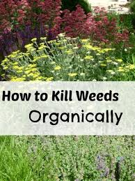 best 25 killing weeds ideas on pinterest homemade weed spray