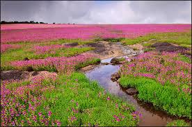 kaas plateau wild flowers of kaas nature photography