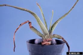 why is aloe sticky what to do when leaves are sticky on aloe