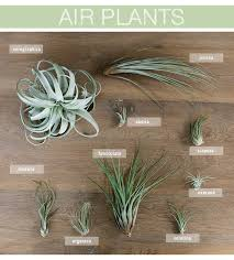 best 25 air plants ideas on hanging air plants air