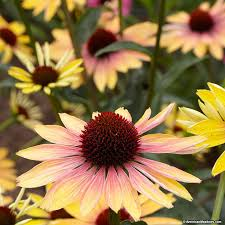 echinacea flower evening glow echinacea coneflower american