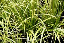 Sweet Flag Grass Grandiflora Wholesale Nursery Products