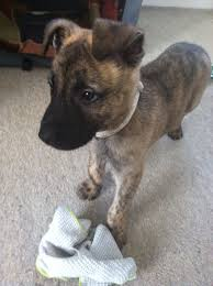 belgian malinois brindle apparently there u0027s hardly any belgian malinois on here so i
