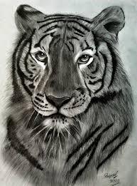 royal bengal tiger u0027s pride drawing by raghav ram