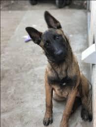 belgian shepherd tattoo belgian malinois favorite dog breeds pinterest belgian