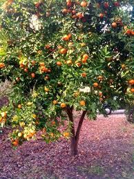 mandarin orange tree chinese new year mandarin tree csp0221380