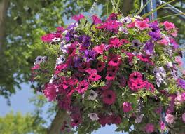 Best Plants For Hanging Baskets by 5 Best Plants For Hanging Baskets How To Choose And Plant A