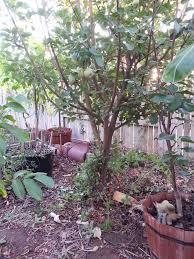 Apple Tree In My Backyard What U0027s Infecting My Fuji Apple Tree