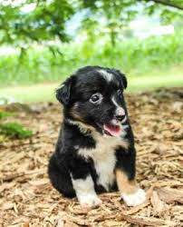 australian shepherd puppy mini australian shepherd puppies for sale lancaster puppies