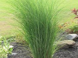 ornamental grasses minnesota climate search landscaping