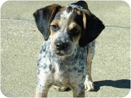 bluetick coonhound puppies near me lucy adopted adopted puppy d111710 hendersonville tn