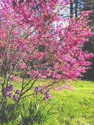 Garden Tree Types - redbud tree u0027s color makes it prime pick especially for small
