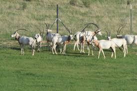Scf Campus Map Scimitar Horned Oryx Return To The Wild Smithsonian U0027s National Zoo