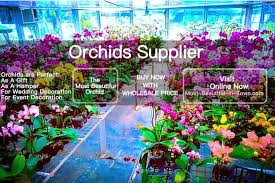 buy an orchid wholesale retail orchid flower plant supplier kl selangor