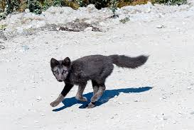 arctic fox tails 4 39 waters west fly fishing outfitters trekking the arctic circle trail in greenland expert vagabond