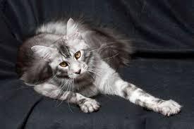 beautiful kittens maine coon kittens beautiful cfa tica registered grand