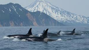 a surge in wild orca capture for killer whale shows outside online