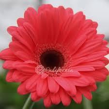 gerbera daisies gerbera daisies coral pink gerberas