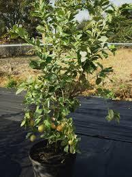 lemon trees for sale florida