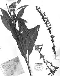 missouri native plant society salvia pentstemonoides