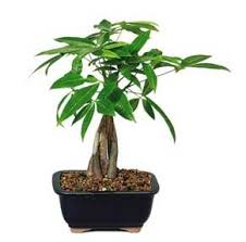 money tree care growing the braided money plant