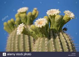 flowers tucson saguaro flowers buds carnegiea gigantea arizona stock photo