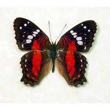 anartia amathea butterfly designs framed butterflies