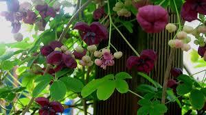 partial shade vines for your garden