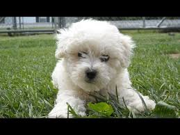 bichon frise puppy 8 weeks 60 seconds of cute bichon frise puppies youtube