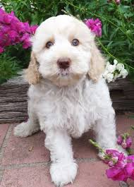 haircutsfordogs poodlemix don t you just wanna eat her spoodle myoodle my oodle oodle