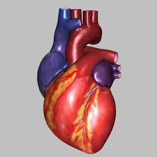 External Heart Anatomy Cdeastcprfirstaid Heart Structure