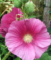 hollyhock flowers hollyhock pink jpg