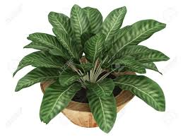 dieffenbachia with variegated leaves growing in a wooden container