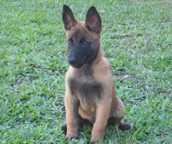 belgian malinois puppies for sale 2016 puppies available
