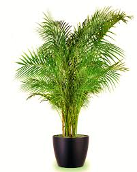 indoor palm indoor air purifying plants top 10 air purifying plants to have