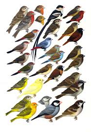 finches and waxbills a field guide to the birds of hawaii and
