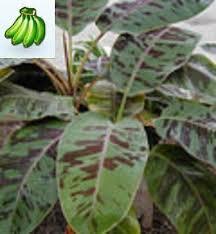 Tropical Plant Diseases - musa sumatrana x cross banana tree musa sumatrana x cross banana