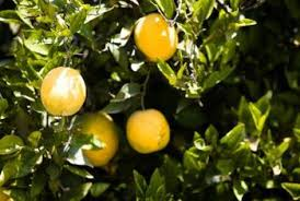 signs of overwatering in orange trees home guides sf gate