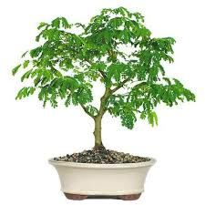 341 best bonsai images on bonsai trees plants and gardens