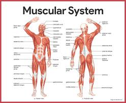 muscle movements anatomy choice image learn human anatomy image
