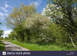crab apple in flower and trees in leaf bordering a downland
