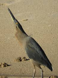 heron meaning striated heron butorides striatus