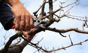 tree trimming pruning guide tips techniques for trimming trees