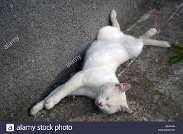 adorable albino cat sleeping in the backyard stock photo royalty