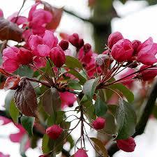 malus rudolph crab apple tree shrub majestic trees