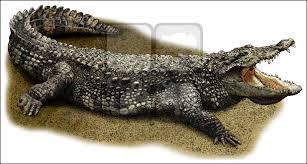 allgators u0026 crocodiles full color u0026 line art illustrations at