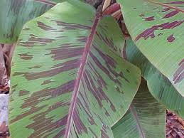 banana tree banana fruit musa species ornamental banana plants