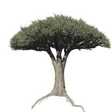 dracaena dracaena field symmetrical speedtree