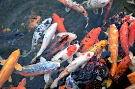 singapore remains the world s no 1 exporter of ornamental fish