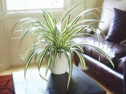 living room spider amazing indoor plants beautiful amazing